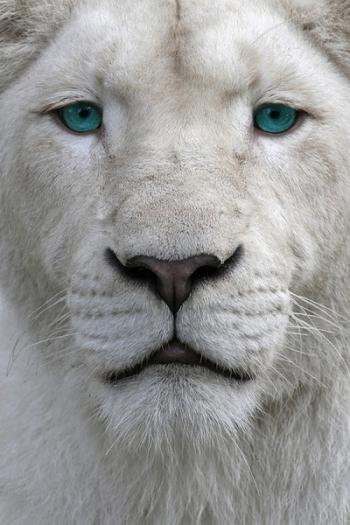 lleo blanc