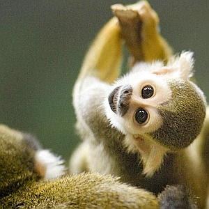squirrel monkey-10