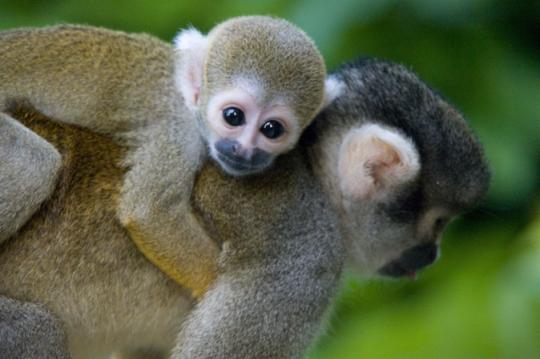 Squirrel Monkey-2