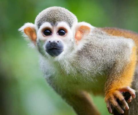 squirrel monkey-5