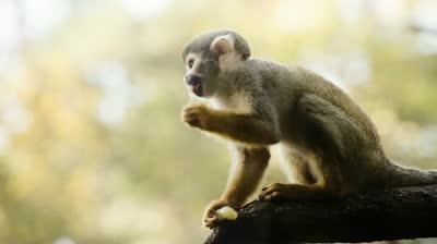 stock-footage-common-squirrel-monkey-eating-on-branch-saimiri-sciureus-shallow-dof